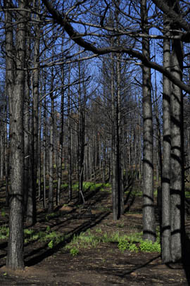 An area of the Apache-Sitgreaves National Forest burned by the Wallow Fire.