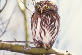 The ferruginous cactus pygmy-owl is found in Pima and Maricopa counties, parts of Texas and through much of Mexico.