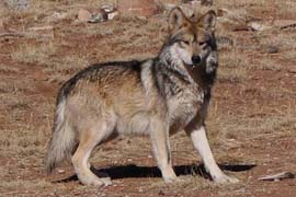 A Mexican gray wolf at the Sevilleta Wolf Management Facility in New Mexico in 2011. Efforts to reintroduce the animals in Arizona and New Mexico have met with limited success - there are currently just 58 in the wild in the two states.