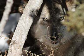 A captive Mexican gray wolf at the Sevilleta Wolf Management Facility in New Mexico in 2011. The U.S. Fish and Wildlife Service has declined to identified the wolves, found in Arizona and New Mexico, as separate from the larger gray wolf population.