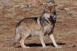 A Mexican gray wolf at the Sevilleta Wolf Management Facility in New Mexico in 2011.