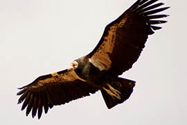Lead poisonings among California condors in northern Arizona and southern Utah dropped over a one-year period. Though the reason isn't known, a state wildlife official said she's cautiously optimistic it may have to do with more hunters in Arizona and particularly Utah taking steps to keep lead out of the environment.