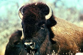 Critics of the bill proposing a bison hunt plan said it