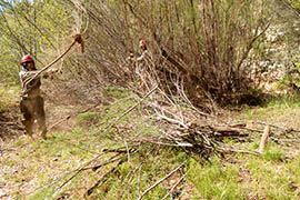 Members of the Lake Mead Exotic Plant Management Team remove tamarisks along a stretch of the Verde River near Paulden.