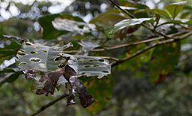 Rust fungus invades the leaves of a coffee plant and reduces its ability to produce coffee cherries. These plants near the village of Chenaló in Chiapas, Mexico, show signs of the fungus.