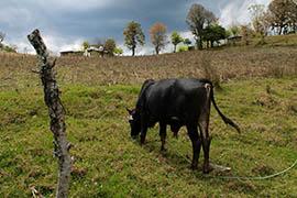 Moises de la Cruz's cow grazes on his land near the town of Buena Vista in Chiapas, Mexico.