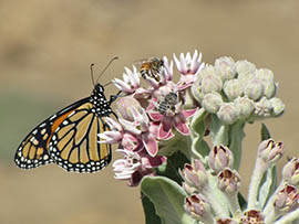 The Tucson-based Center for Biological Diversity is among groups petitioning to have the federal government place monarch butterflies on the endangered species list.