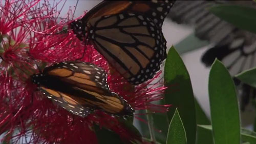 Butterfly Wonderland sees many monarch butterflies pass through on their migration route to warmer climates for the winter. Reporter <strong> Chase Golightly </strong> shows us why the butterfly hub is seeing fewer orange wings each year.