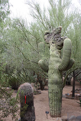 Crested saguaros are among the collection in Wallace Desert Gardens, which agricultural magnate Henry B. Wallace created over 25 years on 18.5 acres.