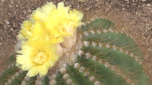 Desert plants currently part of the private Wallace Desert Gardens in Scottsdale are being relocated to Boyce Thompson Arboretum State Park. Reporter <b>Kayla Wall</b> tells us why.