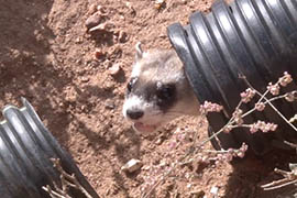 A black-footed ferret is released Wednesday on a ranch in northern Arizona that will serve as the second reintroduction site for the species in the state.