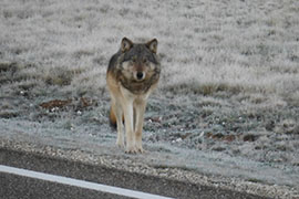 State and federal officials are trying to determine if this animal, which has been spotted several times north of the Grand Canyon this month, is an endangered gray wolf. The species has not been seen there since the 1940s.