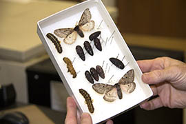 A case at Northern Arizona University holds Pandora moths at all stages of their two-year life cycle. Researchers have seen a population boom among the moths this year.