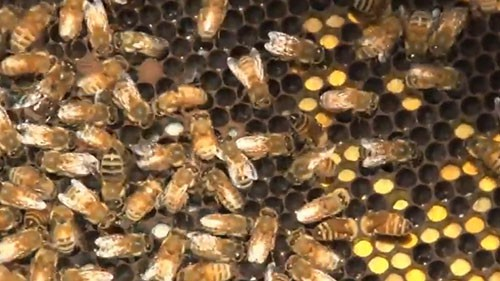 The decline in Arizona's bee population is not only affecting the ecosystem, it's also hurting the economy. Reporter <b>Lacey Darrow</b> spoke with one researcher to find out how she is trying to help save the state's bees.