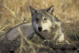 This U.S. Fish and Wildlife file photo shows a gray wolf.