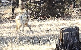 U.S. Fish and Wildlife Service employees, volunteers and interns gather in Reserve, New Mexico to conduct the annual count of Mexican gray wolves.