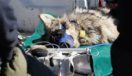 A Mexican gray wolf lay unconscious on an open truck bed after being tranquilized and brought to the drop site for processing.