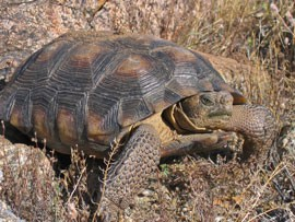 The Sonoran Desert Tortoise is a candidate for listing as an endangered species, which could have implications for real-estate development.