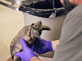 A desert tortoise set to be put up for adoption by the Arizona Game and Fish Department is examined for physical abnormalities and signs of disease.
