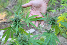 A second group has filed paperwork to seek a place on the 2016 Arizona ballot for marijuana legalization.