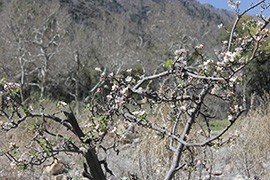 An apple tree that survived the 2011 Monument Fire and the floods and landslides that followed blooms at Beatty's Guest Ranch outside Sierra Vista.