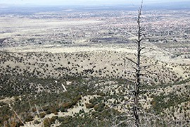 A tree burned by the 2011 Monument Fire overlooks Sierra Vista from the Huachuca Mountains.