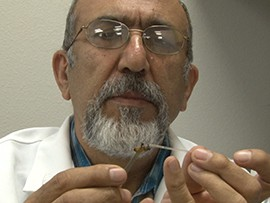 Osman Kaftanoglu, manager of the honey bee research lab at Arizona State University, inspects a honey bee.
