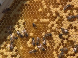 Honey bees from Honey Hive Farms work hard.