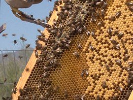 Tim Moore, owner of Honey Hive Farms, tends to his bees at a farm in Litchfield Park.