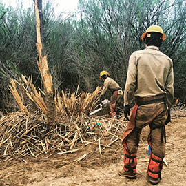 Crews removing invasive tamarisks along the Gila River near Safford use chain saws and an excavator and then apply herbicide to keep the trees from growing back.