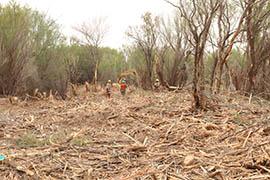 Crews work to remove invasive tamarisks along the Gila River near Safford.
