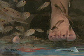 A customer gets a fish pedicure, in which fish nibble dead skin off people's feet. Some states allow the procedure, but Arizona has banned it as unsanitary. This image is from a Gilbert salon before the practice was stopped.
