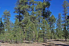 A plan to thin nearly 600,000 acres of the Coconino and Kaibab national forests would remove overgrowth of smaller trees that can fuel highly destructive crown fires.