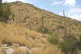 Buffelgrass blankets an area of the Santa Catalina Mountains near Tucson.